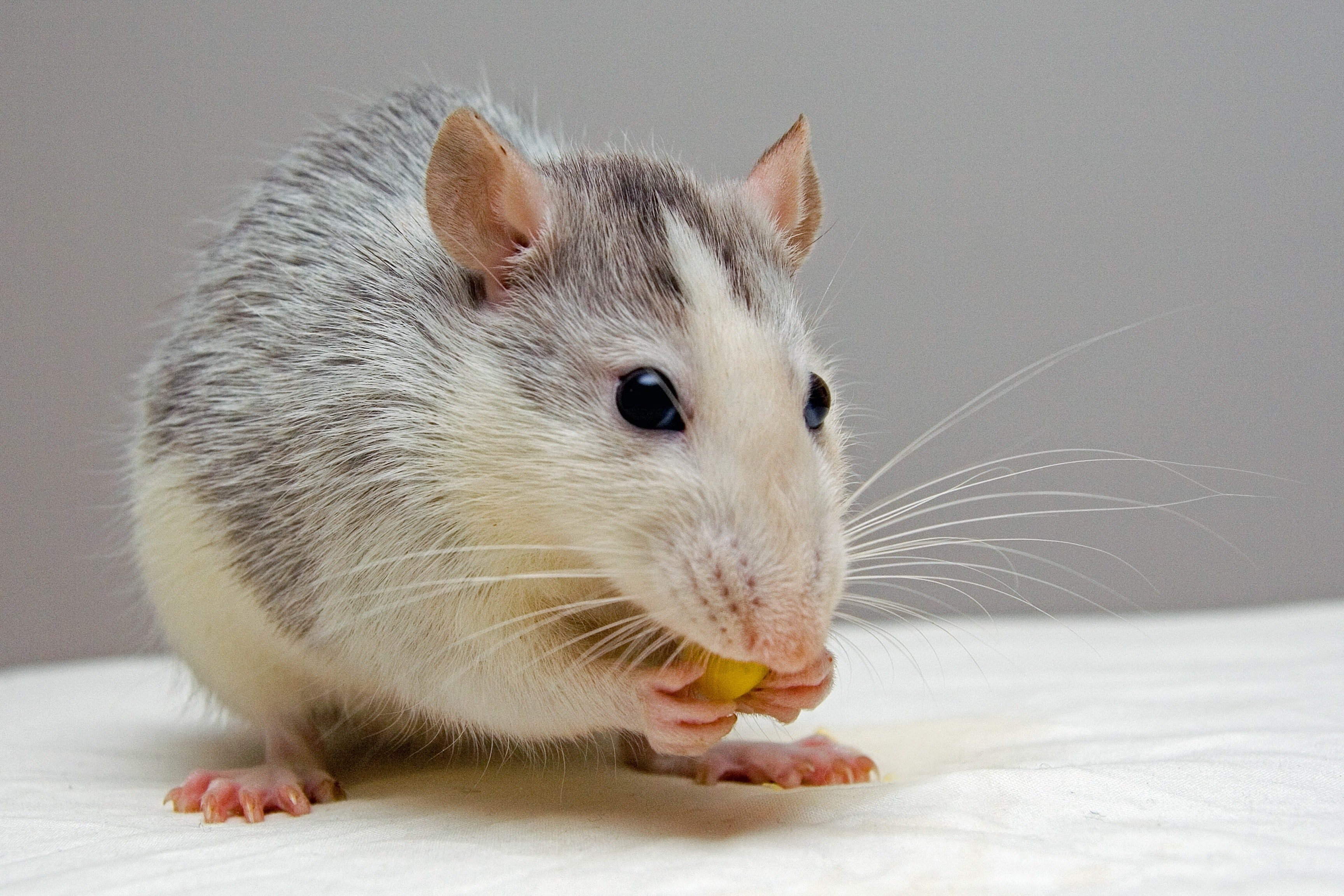 Worms in the gut keep mice from getting plump on high-fat food